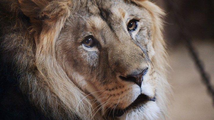 В Южной Африке туристы расстреливают львов за деньги