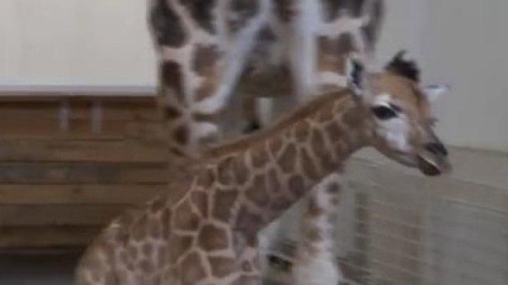 В Одесском биопарке родился детеныш жирафа