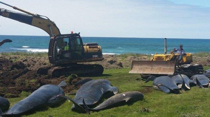 В Новой Зеландии сняли массовый суицид дельфинов