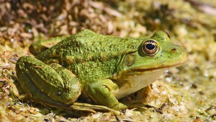 Ученые отрастили лягушкам ампутированные лапы
