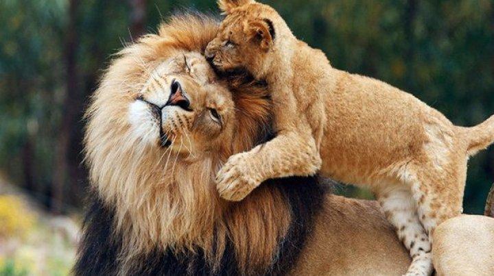 Учёные предсказали полное исчезновение львов