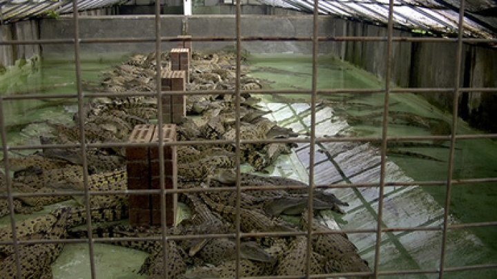 Американец прыгнул в бассейн с крокодилами