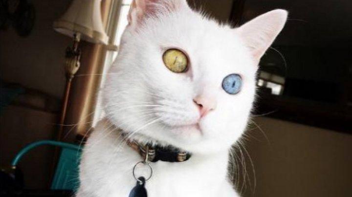 Глухонемого котика с разноцветными глазами продают по цене иномарки
