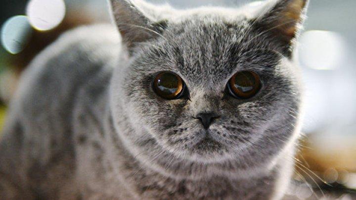 В Австралии сняли на видео большого кота, гуляющего по наряженной елке