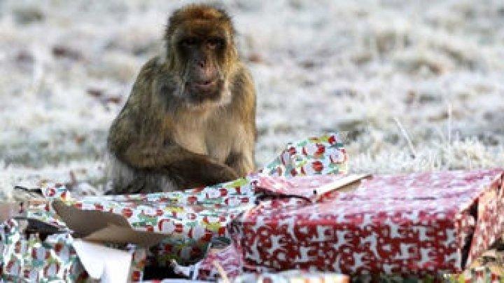 Берберские макаки получили подарки на Рождество