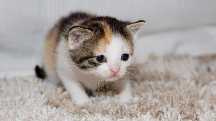 В Китае в 2019 году родится первый клонированный котенок