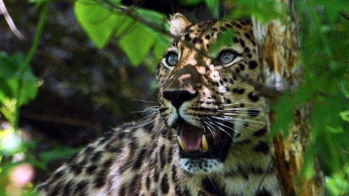 Китайский сафари-парк больше недели скрывал побег трёх леопардов