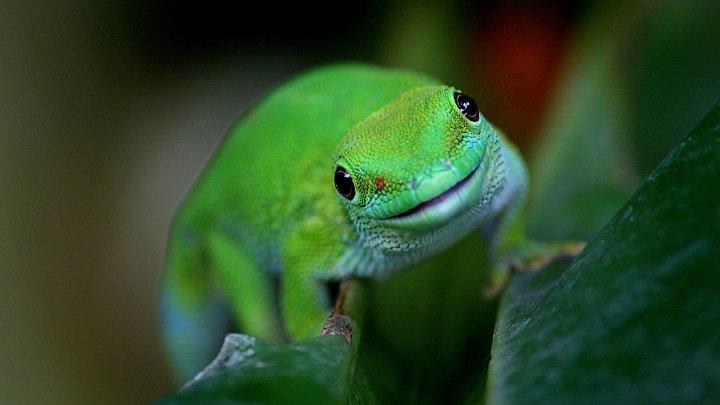 Учёные выяснили, как гекконы бегают по воде