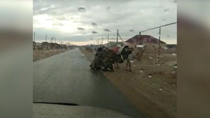 В Казахстане верблюд преодолел непривычный гололед на коленях (видео)