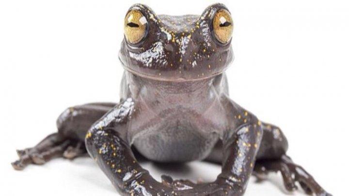 Новый вид древесных лягушек найден на границе Эквадора и Перу