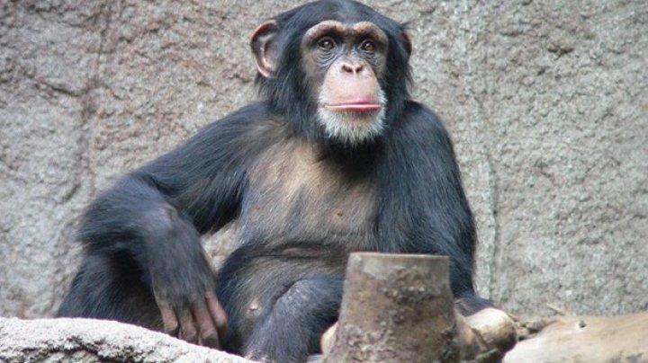В Швейцарии разрешили референдум о наделении шимпанзе правами человека