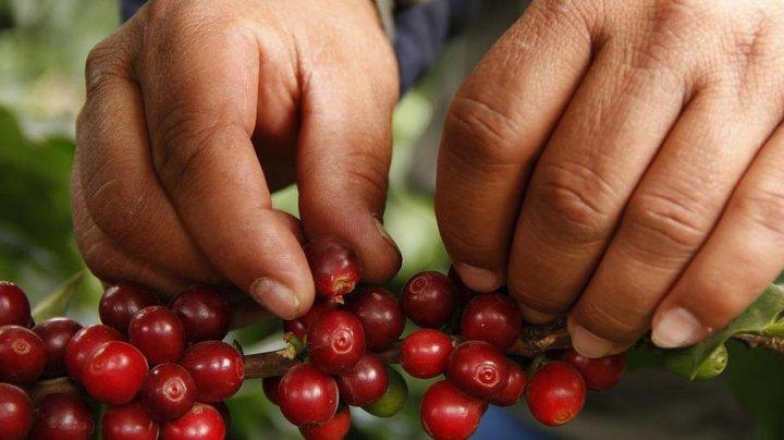 Британские ученые предрекли гибель кофе
