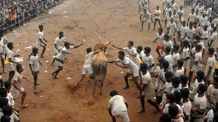 Два индийца попытались схватить быков за рога и погибли