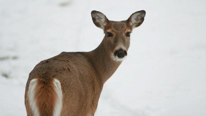 Канадский полицейский жестоко расправился со сбитым оленем