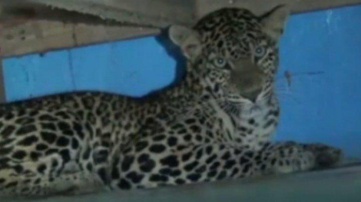 Семья вернулась со свадьбы и обнаружила дома дикого леопарда