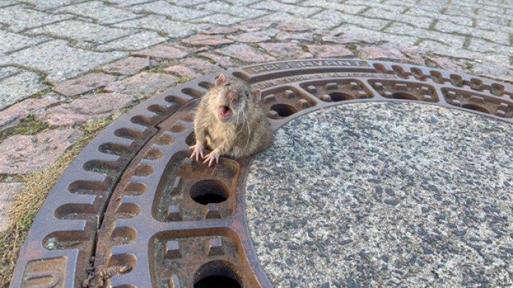 В Германии бригада пожарных спасла толстую крысу (видео)