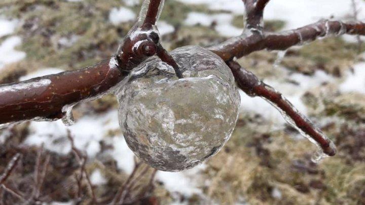 В саду у американца обнаружили яблоки-призраки (фото)