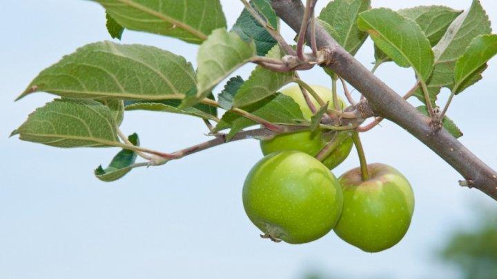 Архитекторы придумали дома из яблок, которые можно вырастить самим