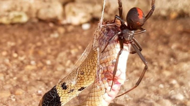 Самый опасный паук Австралии победил самую ядовитую змею