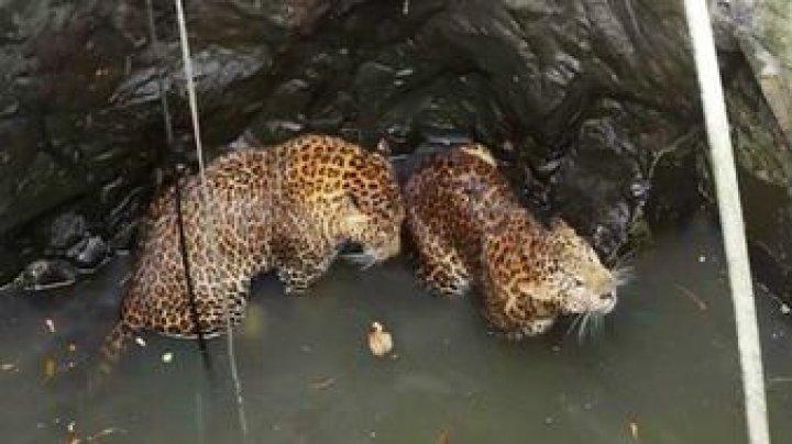В Индии спасли двух леопардов, провалившихся в колодец (видео)