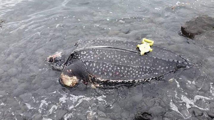 Редкую гигантскую черепаху обнаружили мертвой