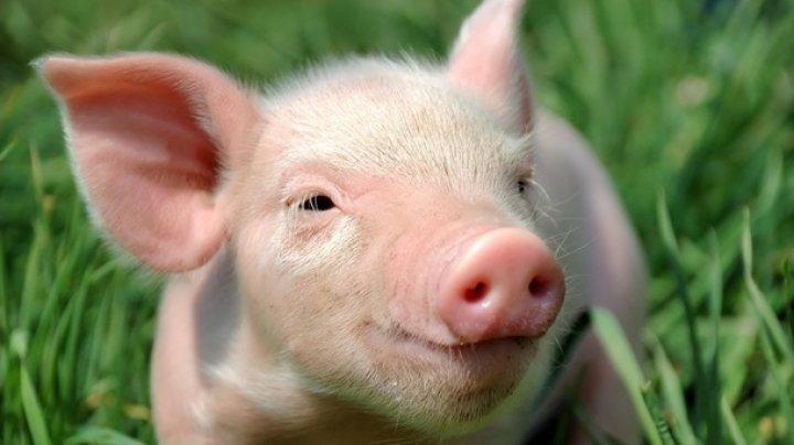 Блогер поедал голову свиньи на фестивале веганов (видео)