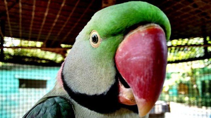 Попугаи-наркоманы атакуют маковые поля в Индии