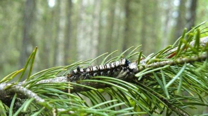В Молдове началась борьба с лесными вредителями