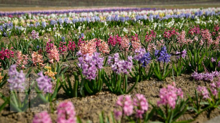 В селе Бардар Яловенского зацвели тюльпаны и гиацинты (фоторепортаж)