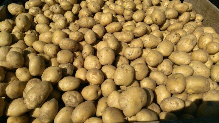 Более 20 тонн зараженного картофеля пытались провезти в Молдову