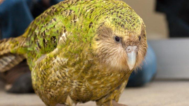 В Новой Зеландии провели операцию на мозге попугаю исчезающего вида