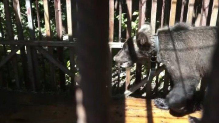 Съехавшие хозяева оставили в доме голодного медведя