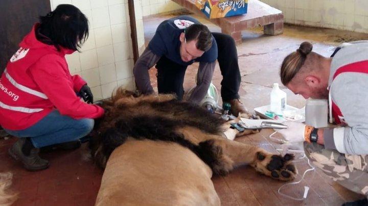 Волонтёрам удалось спасти львов, которые умирали в настоящей тюрьме для зверей