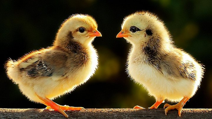В Молдове появилась птицеферма, где цыплят выращивает компьютер