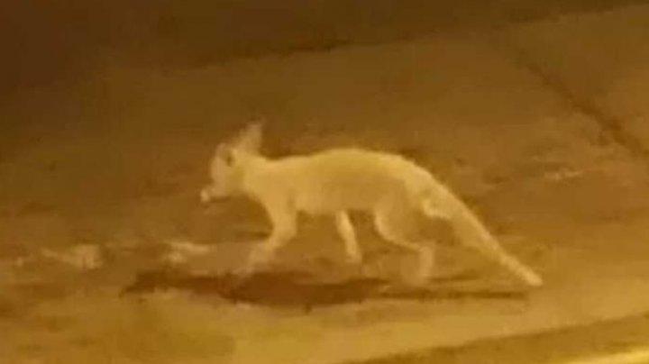 В Лондоне очевидец снял редчайшую лису-альбиноса