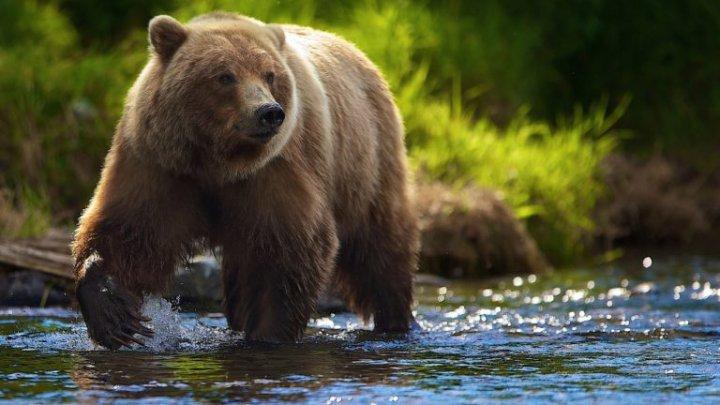 В Сибири мужчина откусил медведю язык
