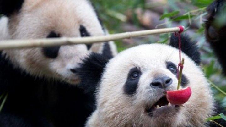 В Китае расселят единственных в мире панд-тройняшек