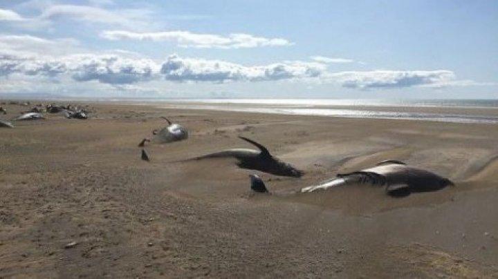 На берегу в Исландии обнаружили десятки мертвых дельфинов