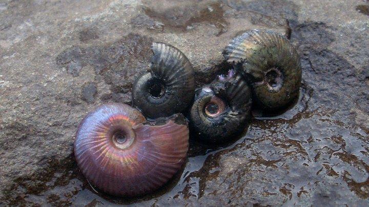 Сибирский ученый открыл новый род моллюсков