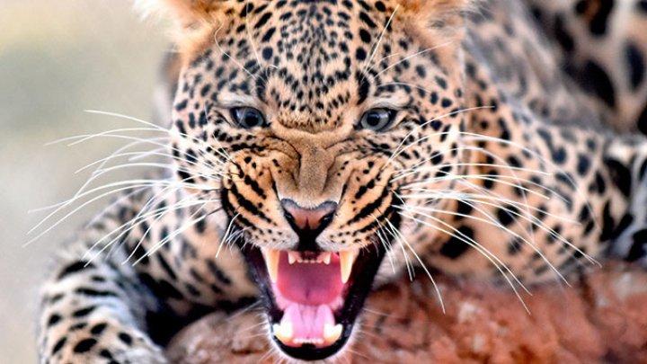В Индии леопард атаковал спящего мужчину в его доме