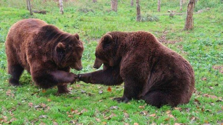 Два медведя в зоопарке подрались за мороженое