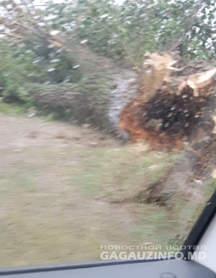 Въезд в Комрат со стороны Кирсово заблокирован из-за упавшего дерева (фото)