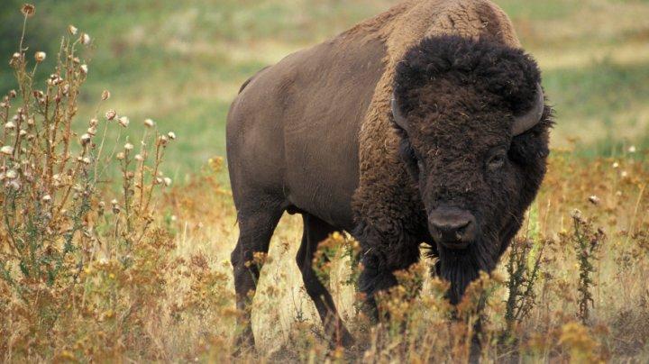 Бизон напал на девочку в национальном парке США (видео)