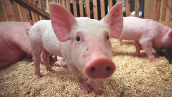 В селах Манта и Пашканы Кагульского района подтвердились случаи африканской свиной чумы