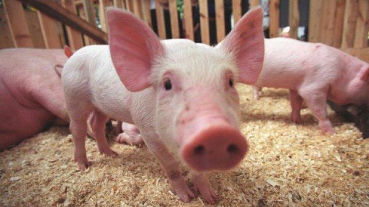 В Кагульском районе подтвердились случаи африканской свиной чумы
