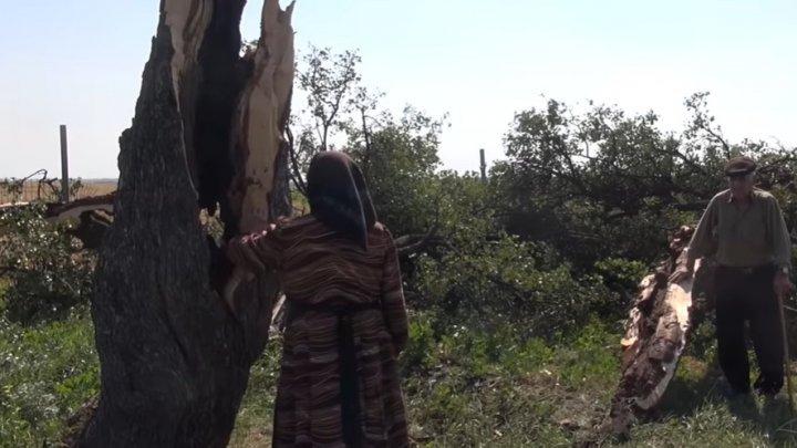 200-летнее грушевое дерево Авдармы не выдержало шквалистого ветра