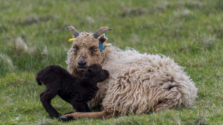 В Шотландии предлагают хорошо заработать на присмотре за овцами