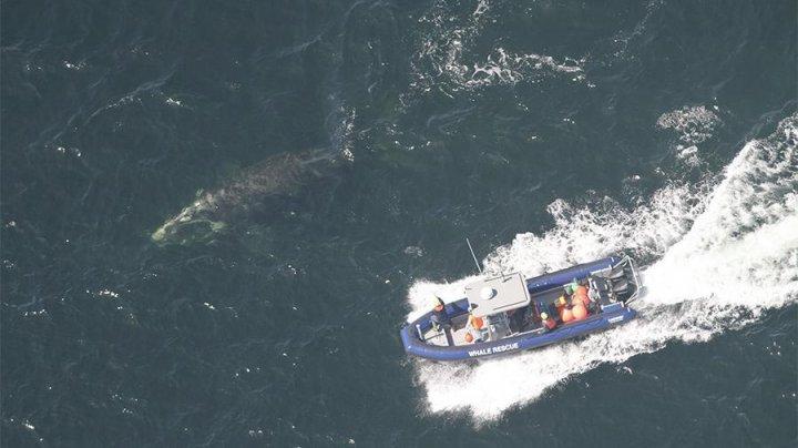 В Канаде спасли запутавшегося в сетях полярного кита