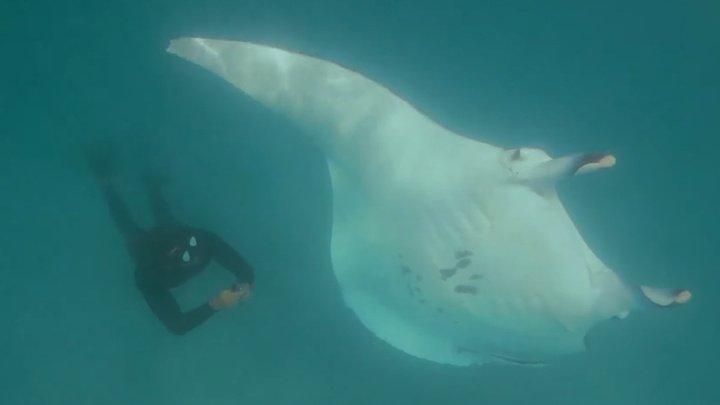 В Австралии трехметровый морской дьявол приплыл за помощью к людям