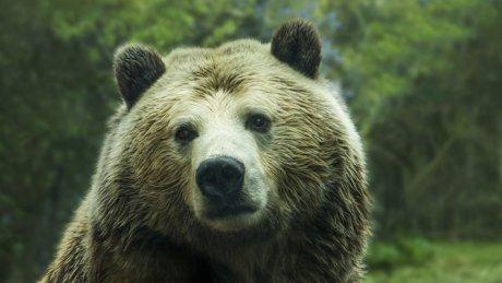 В Красноярском крае медведь растерзал 16-летнего мальчика и ранил мужчину